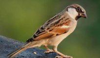 Mơ thấy chim sẻ có điềm báo gì? giải mã giấc mơ thấy chim sẻ?