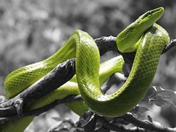 Giải mã ý nghĩa giấc mơ thấy rắn mang điềm báo gì?