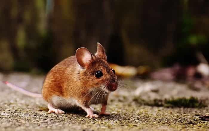 Mơ thấy chuột đánh con gì trúng lớn