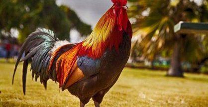 Nằm mơ thấy gà trống đánh con gì ăn chắc, có điềm báo gì